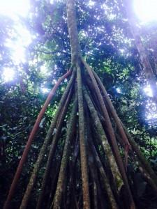 Sacred Center Peru Journey 2015 Manu National Park Tree